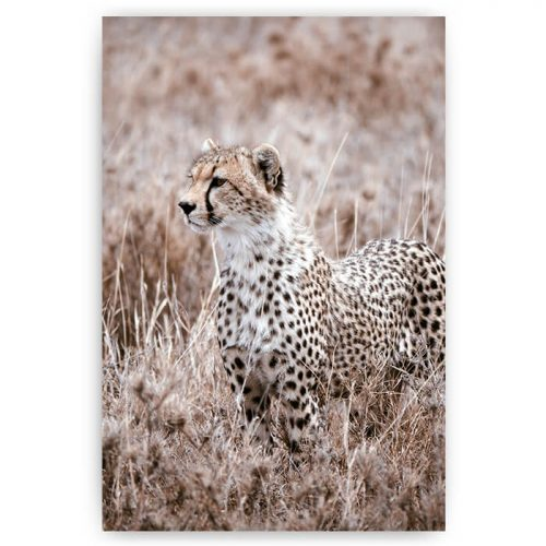 poster cheetah in natuur