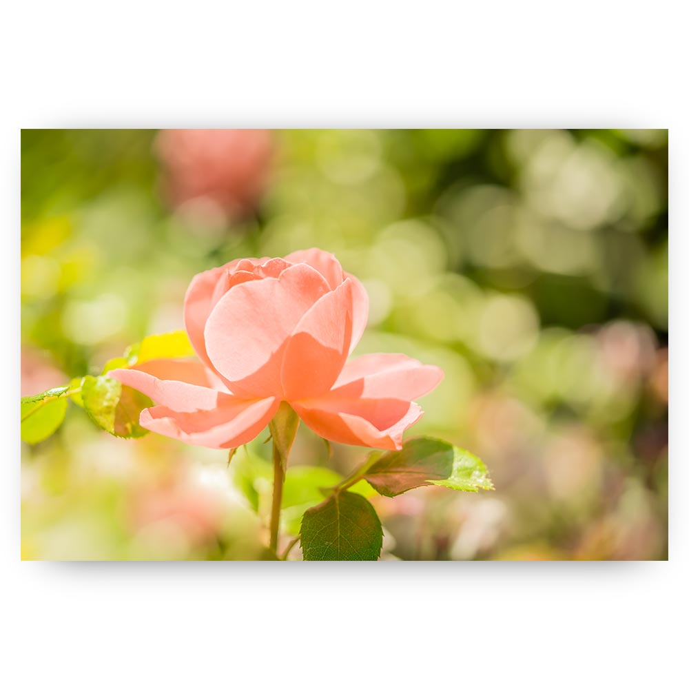 roze roos bloem