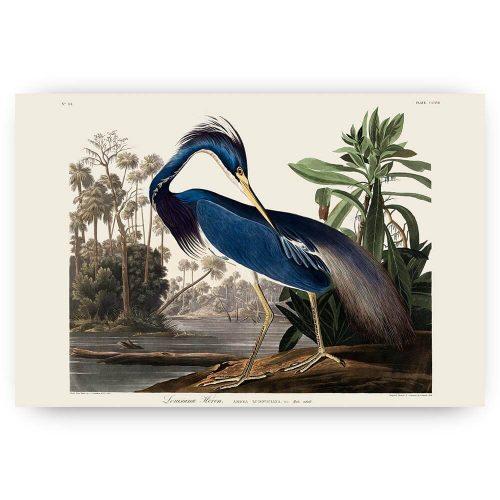louisiana heron reiger